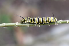 Mariposa de monarca Caterpillar Imagen de archivo libre de regalías