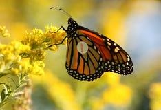 Mariposa de monarca con la etiqueta Fotos de archivo