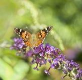 Mariposa de monarca en arbusto de mariposa imagen de archivo libre de regalías