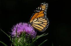 Mariposa de monarca en cardo Imagen de archivo libre de regalías