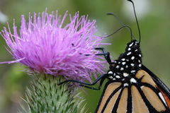 Mariposa de monarca en cardo foto de archivo