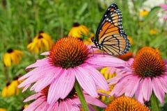 Mariposa de monarca en coneflower Foto de archivo libre de regalías