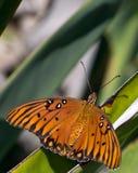Mariposa de monarca en descanso en una hoja de la planta. Imagenes de archivo