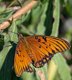 Mariposa de monarca en descanso en una hoja de la planta. Fotografía de archivo