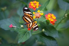 Mariposa de Monarca en granja Imagen de archivo