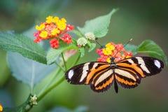 Mariposa de Monarca en granja Foto de archivo