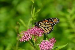 Mariposa de monarca en kolanchoe rosado Imágenes de archivo libres de regalías