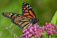 Mariposa de monarca en kolanchoe rosado Fotografía de archivo