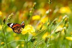 Mariposa de monarca en la flor amarilla adentro Foto de archivo libre de regalías