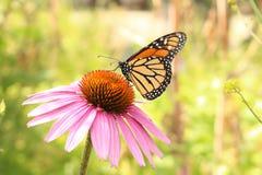 Mariposa de monarca en la flor del Echinacea de Blacksamson Imagenes de archivo