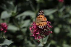 Mariposa de monarca en la flor en jardín botánico en Baku Azerbaijan imagen de archivo
