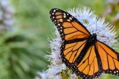 Mariposa de monarca en la flor púrpura del echium fotografía de archivo libre de regalías