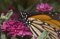 Mariposa de monarca en la flor roja imagenes de archivo
