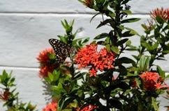 Mariposa de monarca en la flor roja Imagen de archivo