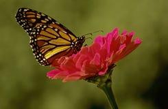 Mariposa de monarca en la flor rosada Fotos de archivo libres de regalías