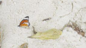 Mariposa de monarca en la playa arenosa metrajes