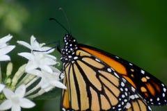 Mariposa de monarca en Lantana Fotos de archivo