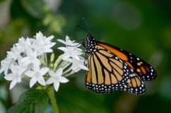 Mariposa de monarca en Lantana Foto de archivo libre de regalías
