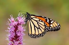 Mariposa de monarca en Lantana rosado Foto de archivo