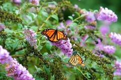 Mariposa de monarca en las flores Fotos de archivo libres de regalías