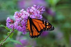 Mariposa de monarca en las flores Imagen de archivo libre de regalías