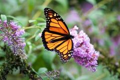 Mariposa de monarca en las flores Fotos de archivo