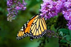 Mariposa de monarca en las flores Fotografía de archivo