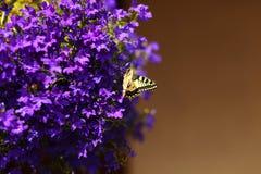 Mariposa de monarca en las flores azules Imagen de archivo