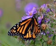 Mariposa de monarca en las flores del aster fotos de archivo libres de regalías