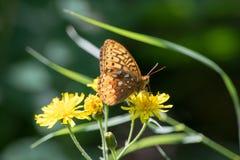 Mariposa de monarca en las flores del diente de león Imagen de archivo