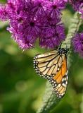 Mariposa de monarca en las flores púrpuras Fotos de archivo libres de regalías