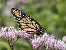 Mariposa de monarca en los brotes de flor Fotografía de archivo