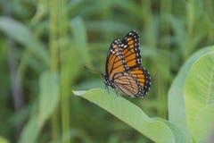 Mariposa de monarca en milkweed Imagenes de archivo