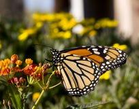 Mariposa de monarca en Milkweed fotografía de archivo