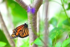 Mariposa de monarca en pajarera en la Florida imágenes de archivo libres de regalías