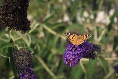 Mariposa de monarca en un caballero negro del davidii de Buddleja foto de archivo