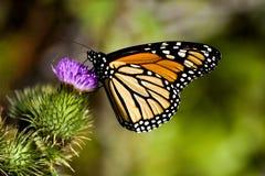 Mariposa de monarca en un cardo Imagen de archivo libre de regalías