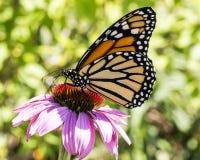 Mariposa de monarca en un coneflower Fotos de archivo
