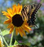 Mariposa de monarca en un girasol Foto de archivo libre de regalías