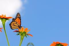 Mariposa de monarca en un girasol mexicano fotografía de archivo