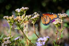 Mariposa de monarca en una flor Imágenes de archivo libres de regalías