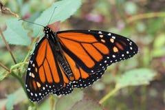 Mariposa de monarca en una flor imagen de archivo libre de regalías