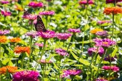 Mariposa de monarca en una flor rosada Fotos de archivo libres de regalías