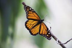 Mariposa de monarca en una rama Imágenes de archivo libres de regalías