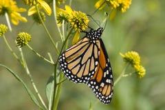 Mariposa de monarca en Wildflowers foto de archivo libre de regalías