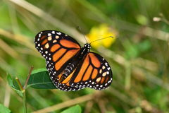 Mariposa de monarca encaramada en la hoja Fotos de archivo
