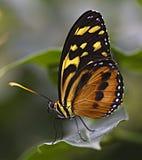 Mariposa de monarca grande del tigre Fotos de archivo