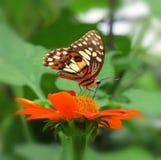 Mariposa de monarca hermosa Imágenes de archivo libres de regalías