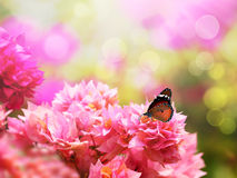Mariposa de monarca majestuosa en la flor hermosa de la buganvilla Fotografía de archivo libre de regalías
