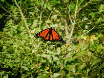 Mariposa de monarca masculino Foto de archivo